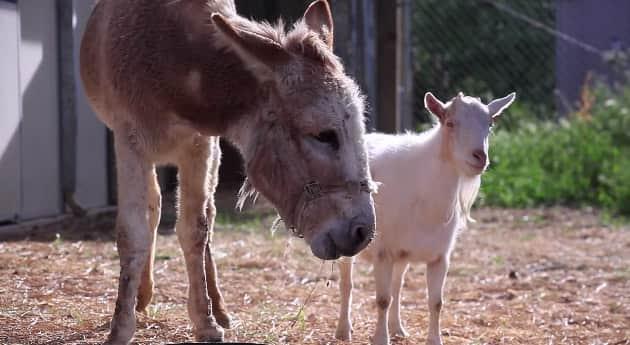 Amizade fiel: Assistam ao reencontro de um bode e um burro que haviam sido separados 1