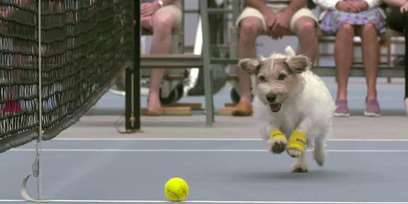 """A melhor """"profissão"""" do mundo dos cães: pegar bolinhas em partidas de tênis 1"""