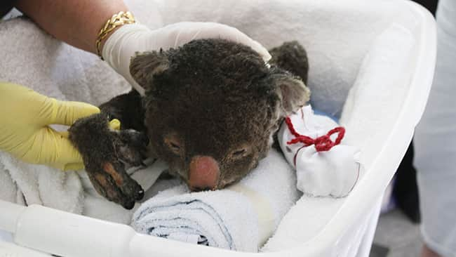 635563949115218015-Burned-koala-wearing-mitten-credit-IFAW-Harvey