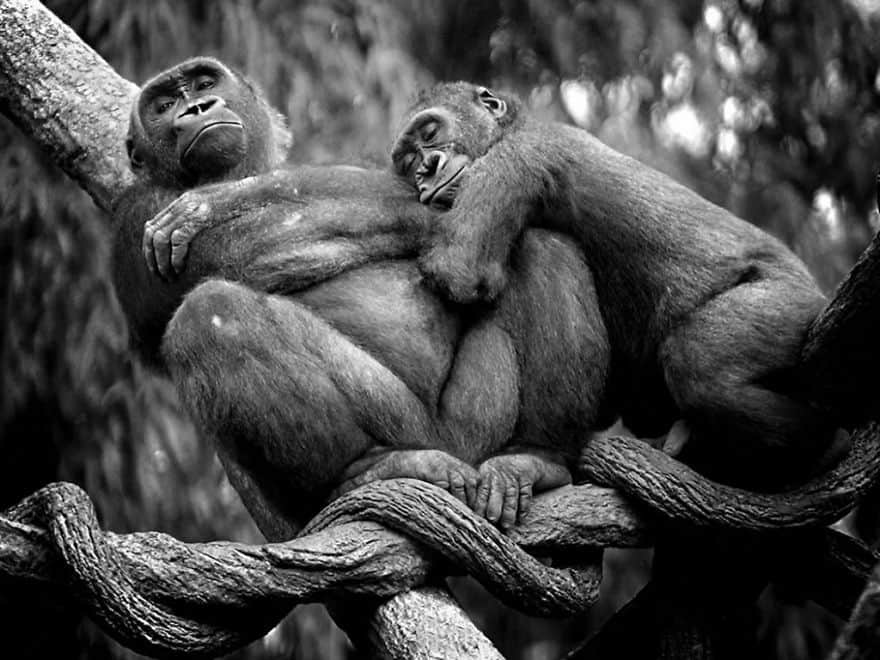animal-couples-apes__880
