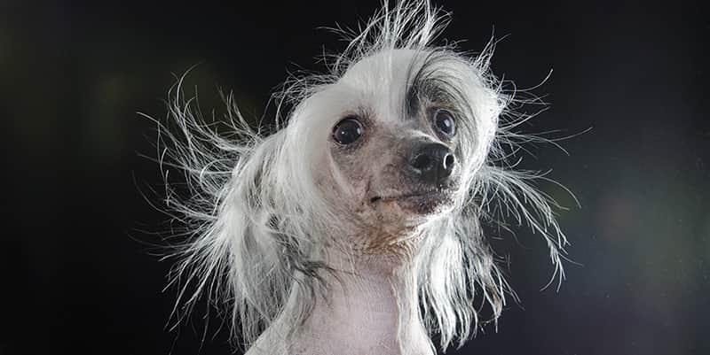 Feio, eu? Essas fotos de cães de raças sem pêlos vão desafiar seus ideias de beleza 5