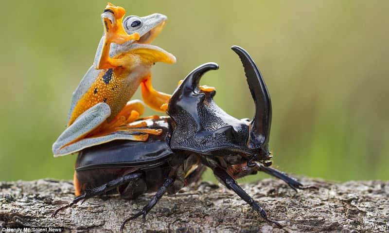 Fotógrafo captura o momento exato em que um sapo pega 'carona' em um besouro 3