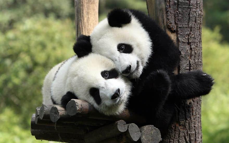 ws_pandas_in_love_1920x1200__880