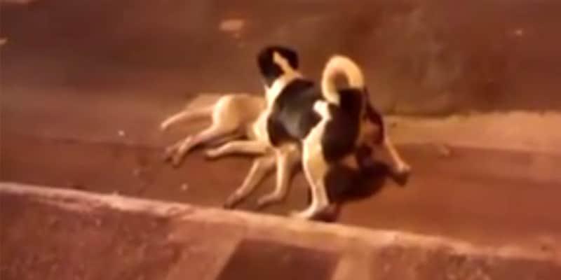 Cachorro protege outro cão amigo que havia sido atropelado  2