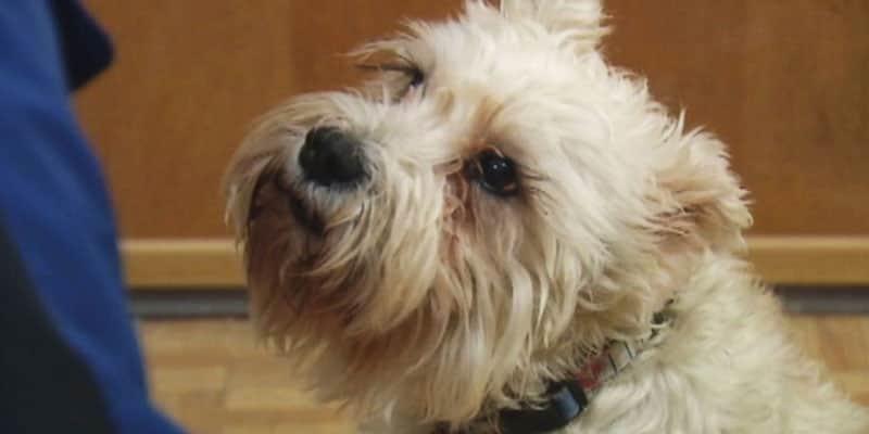 Cachorrinha foge de casa para visitar dona em hospital 2