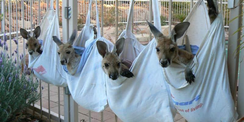 Santuário de cangurus protege bebês órfãos que perderam as mães atropeladas na Austrália 3