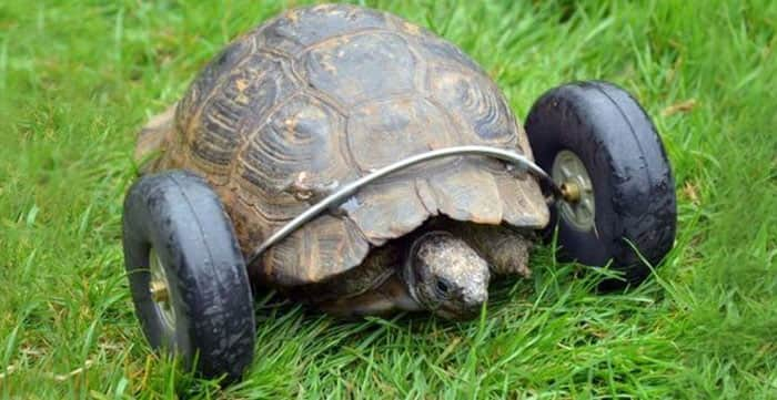 90-year-old-Tortoise-Ninja-Fast-Half-Cyborg-After-Wheels-Replace-Legs-Lost-in-Rat-Attack1__700