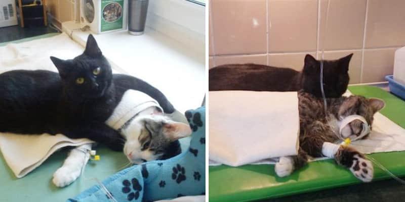 """""""Gato enfermeiro"""" que foi resgatado, agora cuida de outros animais doentes em abrigo polonês 1"""