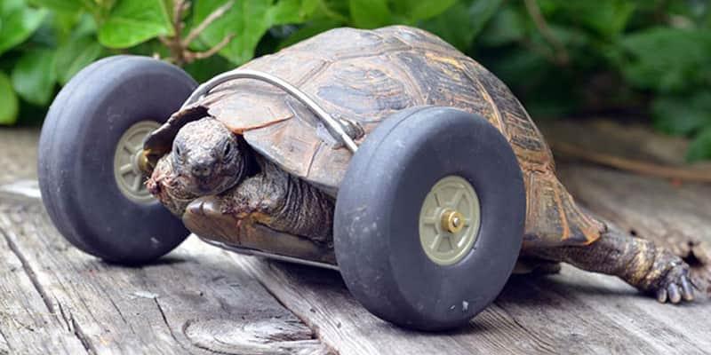 Tartaruga de 90 anos que perdeu pernas em ataque de ratos, agora tem rodinhas que a deixaram duas vezes mais veloz 1