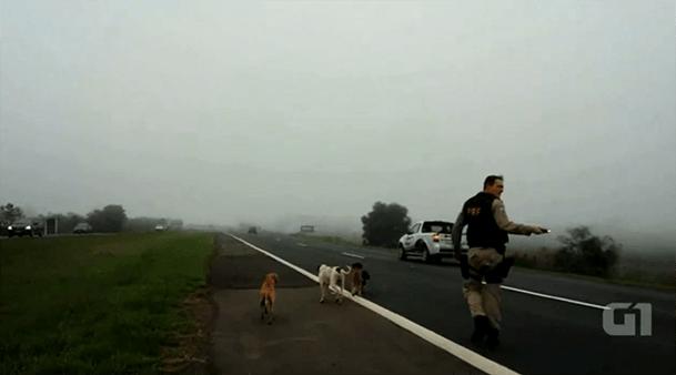 Polícia Rodoviária 'escolta' cães por acostamento para evitar atropelamento no RS 1