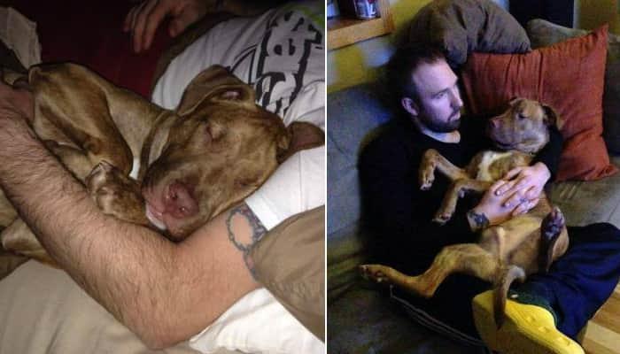 Pit bull resgatado de abrigo não dorme sem o seu tutor 1