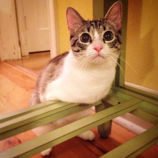 adopted-cat-hops-two-legs-instagram-celebrity-roux-2