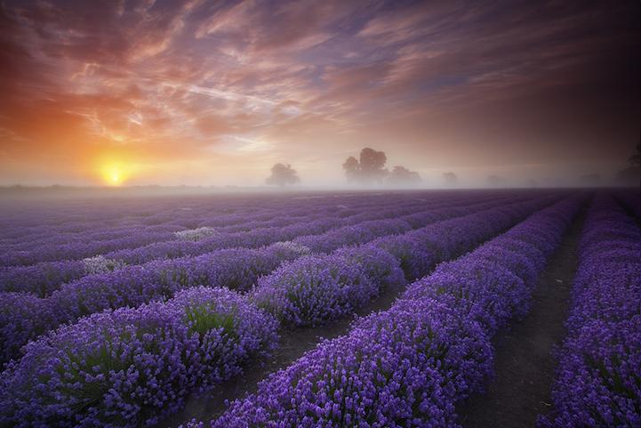 lavenderfields10antonyspencera