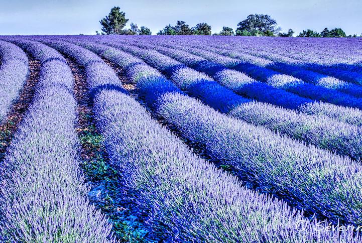 lavenderfields11blaisevi41a