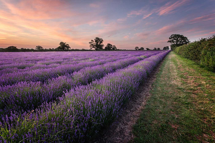 lavenderfields12yelsel_ra