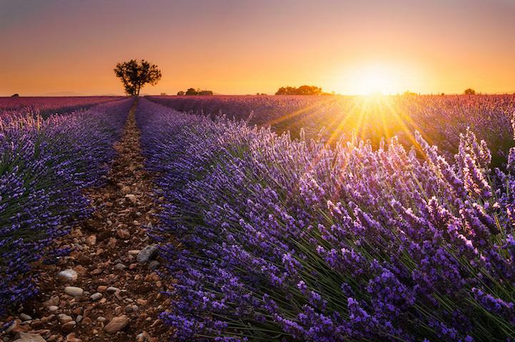 lavenderfields14damienborela