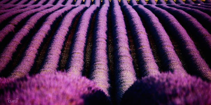 lavenderfields15stphanetoumayana