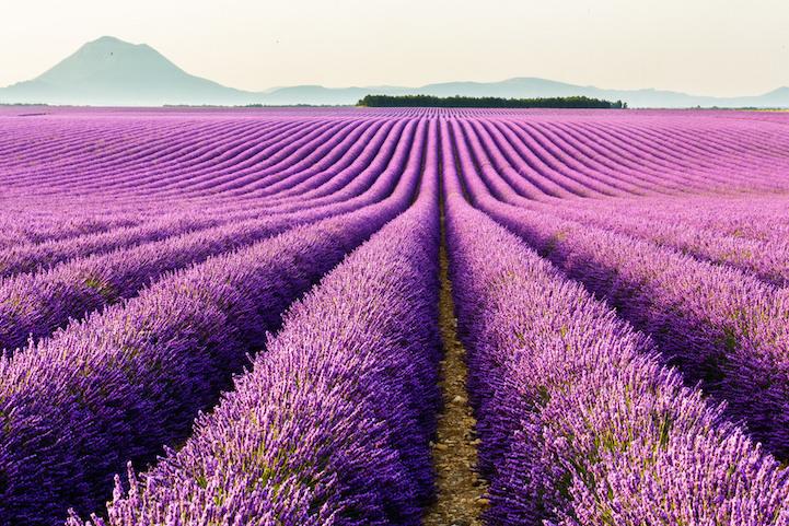 lavenderfields1loclagardea