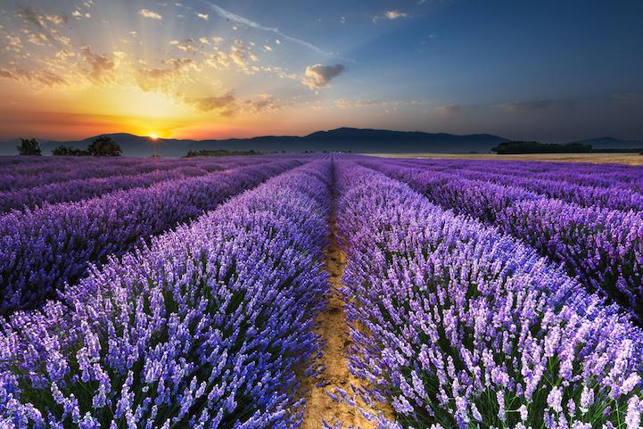 lavenderfields2loclagardea