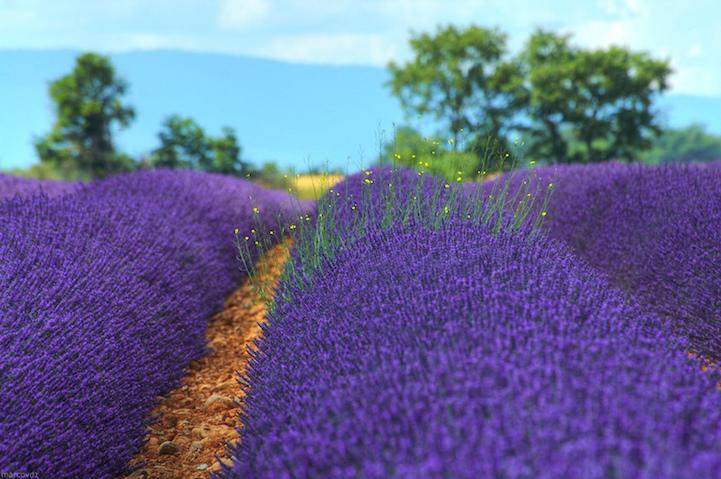 lavenderfields3marcovdza