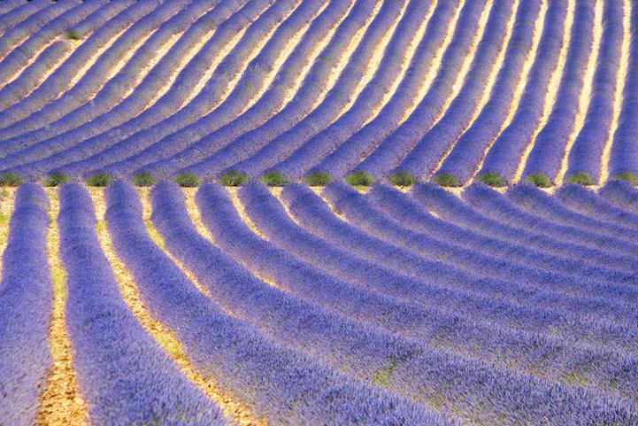 lavenderfields4deviantteddinea