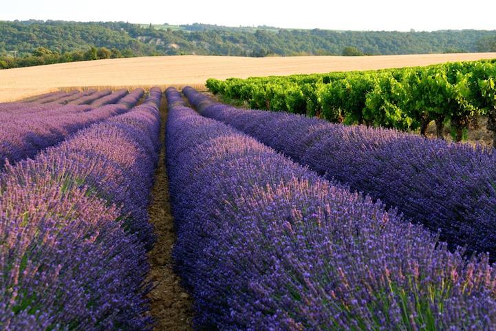 lavenderfields5patriciastevensa