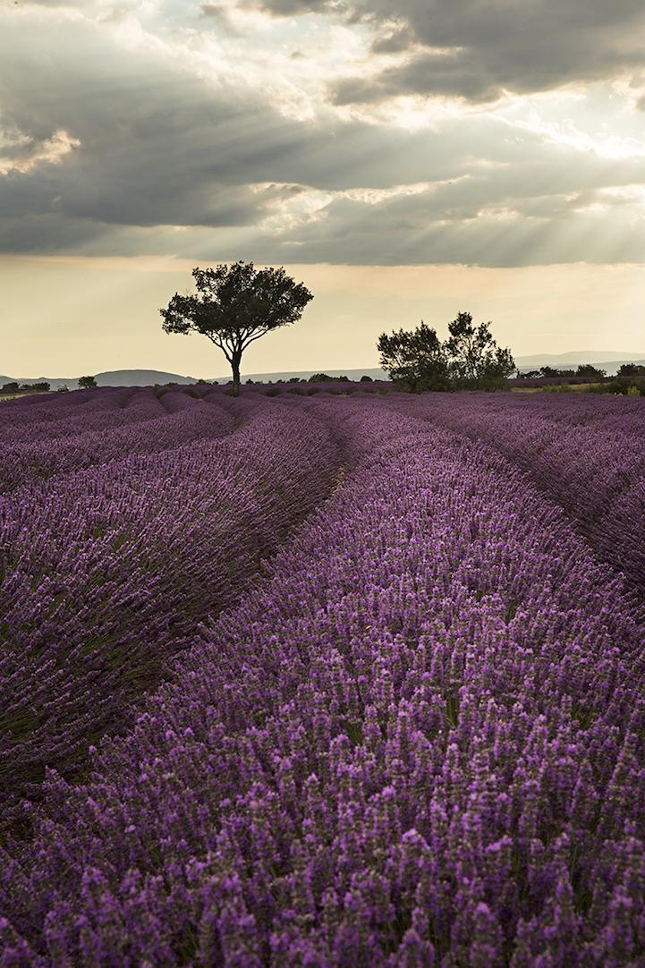 lavenderfields6patriciathomasa