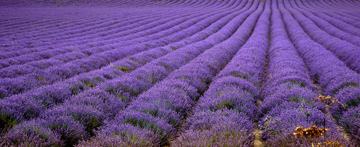 lavenderfields8garyneavea