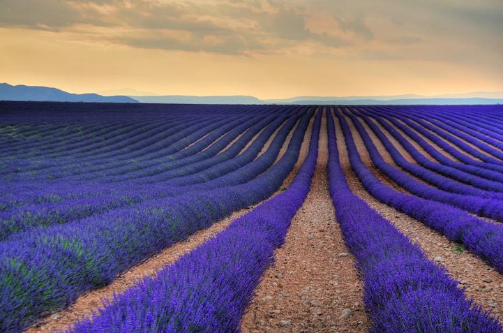 lavenderfields9keeboontana