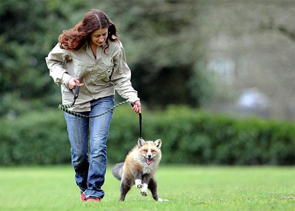 rescued-tame-pet-fox-cub-todd-emma-dsylva-7a