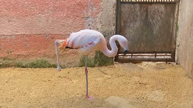 Em procedimento inédito no mundo, Flamingo recebe prótese e sobrevive 1