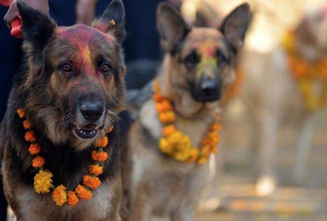 Festival das luzes no Nepal dedica um dia especialmente para celebrar a vida dos cachorros 5