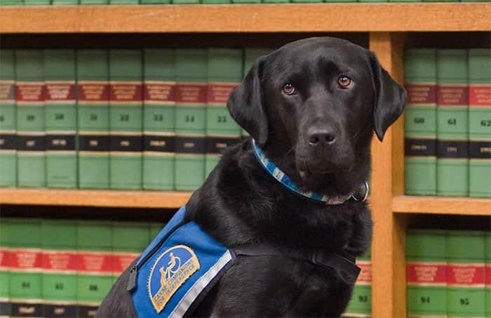 courthouse-dogs-calm-witness-victim-ellen-oneill-celeste-walsen-24