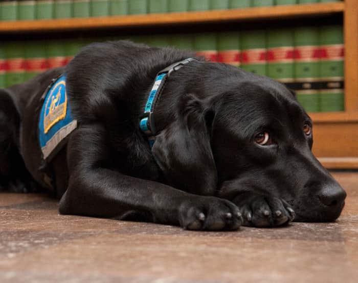 Cães de Tribunal: Eles confortam testemunhas que tem que confrontar seus acusadores 1