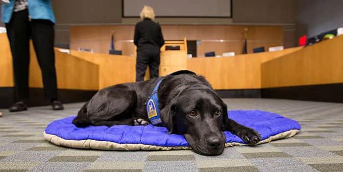courthouse-dogs-calm-witness-victim-ellen-oneill-celeste-walsen-35