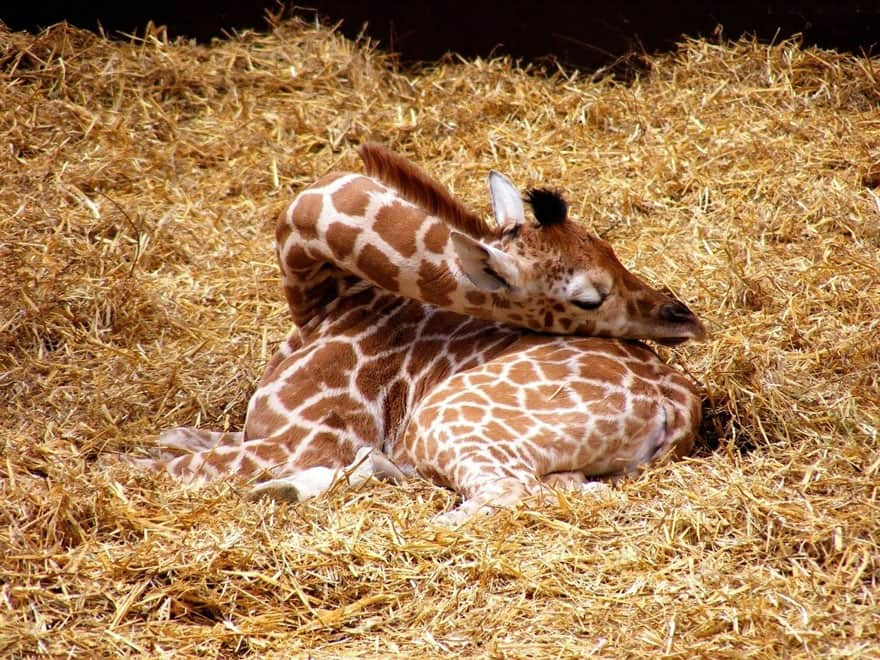 sleeping-giraffe-1__880