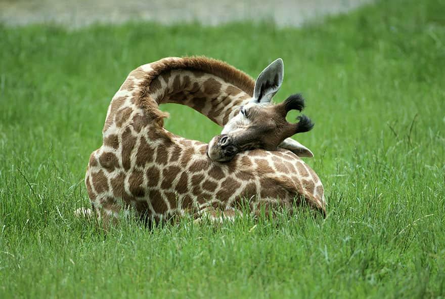 sleeping-giraffes-1__880