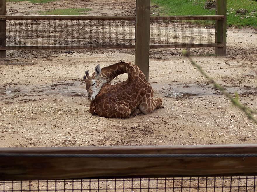sleeping-giraffes-3__880