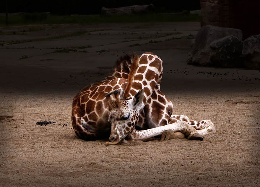 sleeping-giraffes-6__880