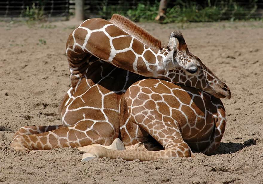 sleeping-giraffes-7__880
