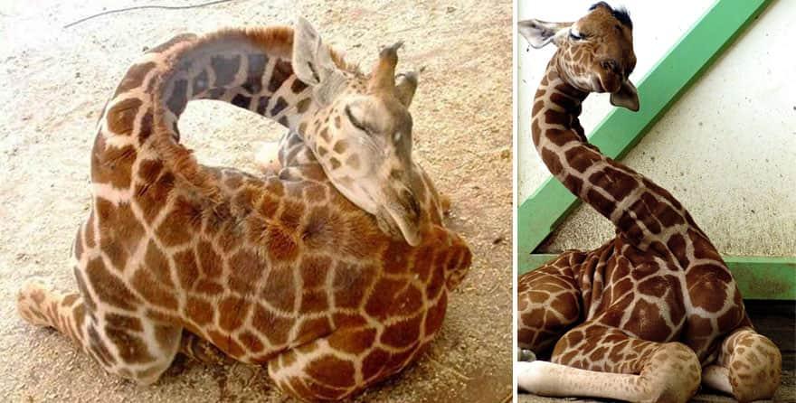 sleeping-giraffes-9__880