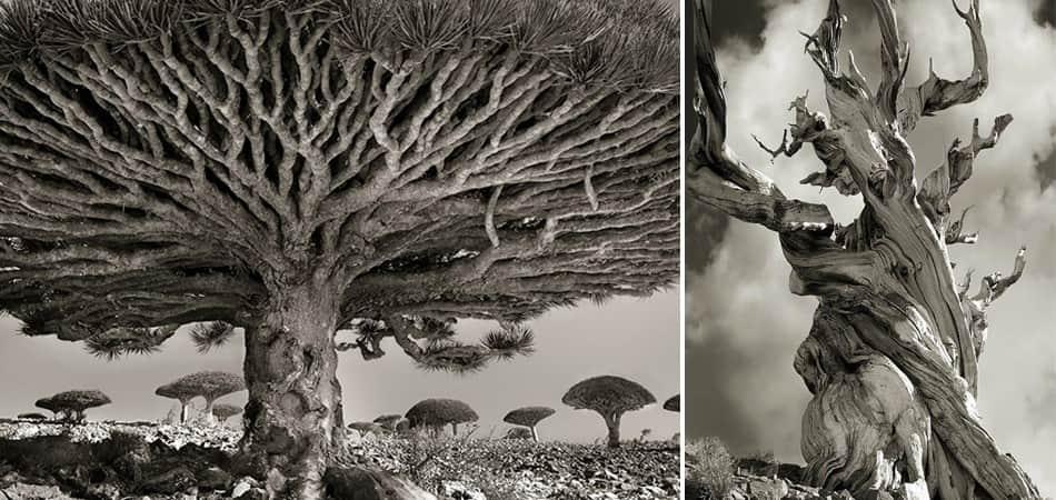 árvores mais antigas