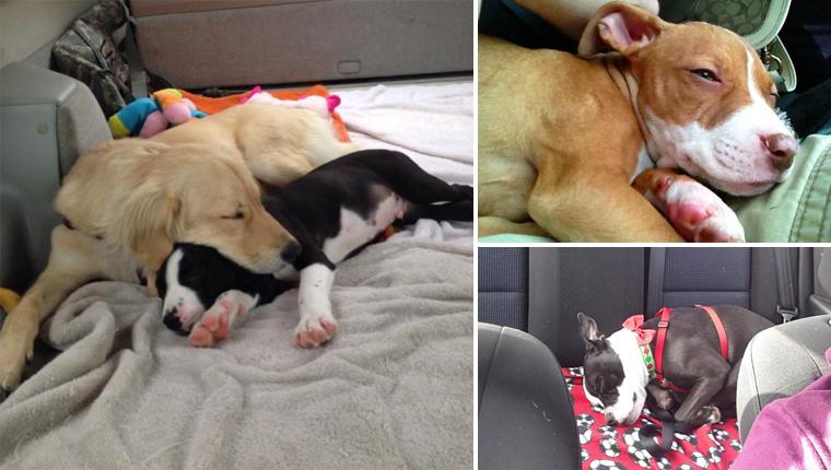 21 Pit Bulls muito felizes a caminho de seus novos lares após adoção 1