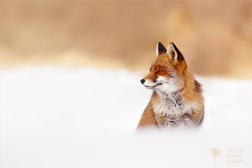 zen-foxes-roeselien-raimond-10__880a