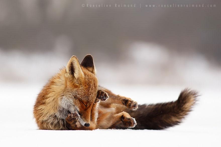 zen-foxes-roeselien-raimond-14__880a