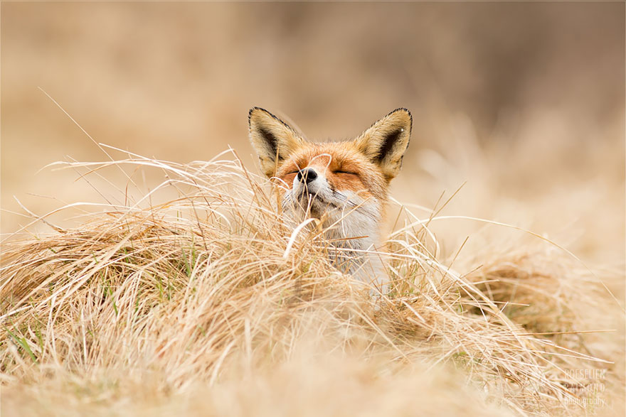 zen-foxes-roeselien-raimond-5__880a