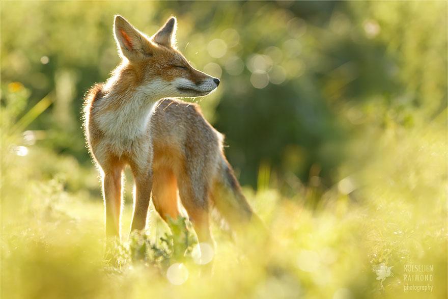 zen-foxes-roeselien-raimond-6__880a
