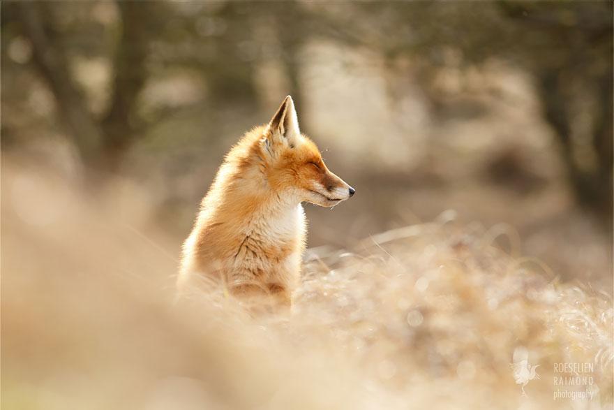 zen-foxes-roeselien-raimond-8__880a