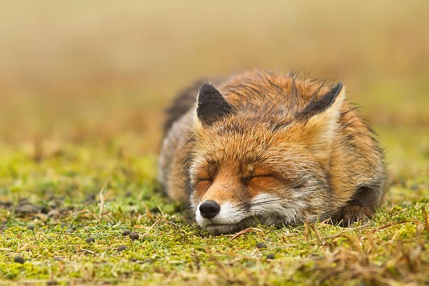 zen-foxes-roeselien-raimond-9__880a