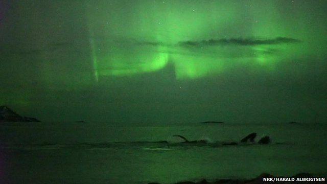 Filmagem mostra exato momento que baleias se encontram com aurora boreal 2